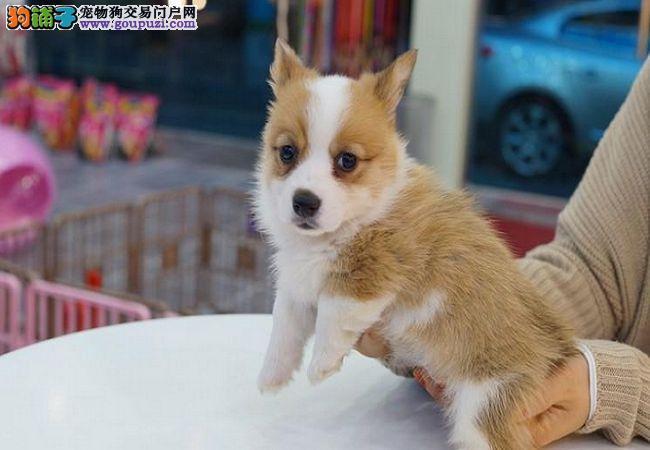 精品纯种双色柯基犬幼犬出售健康保障疫苗齐全上门选购