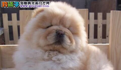松狮犬,狗狗界独立自主的好代表!5