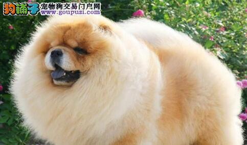 松狮犬,狗狗界独立自主的好代表!6