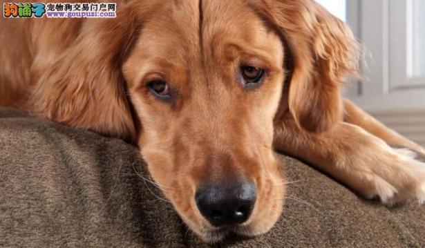 被宠主发现正在咬沙发的金毛,赶紧转换自己的表情6