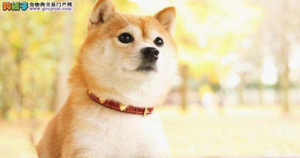 小柴犬体重超标,主人竟用这个方法给它减肥6