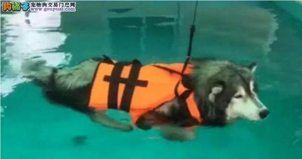 哈士奇上游泳课,奇葩姿势笑翻教练6