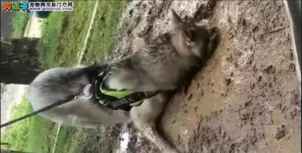 在泥坑中打滚的二哈,看到主人想投身6