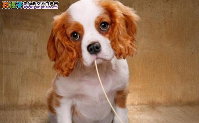了解查理士王小猎犬的相关疾病5