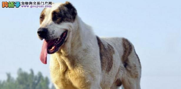 中亚牧羊犬掉毛怎么办啊,什么原因引起的掉毛呢6