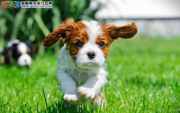 了解查理士王小猎犬的相关疾病6