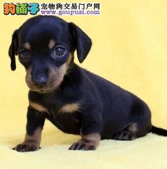 正规犬舍出售极品小体腊肠犬幼犬、保障纯种和健康品质