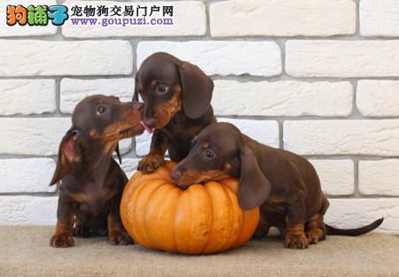 正规犬舍繁殖 赛级品质 纯种腊肠犬幼犬出售