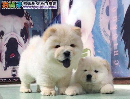 正规犬舍繁殖 赛级品质 纯种松狮幼犬出售