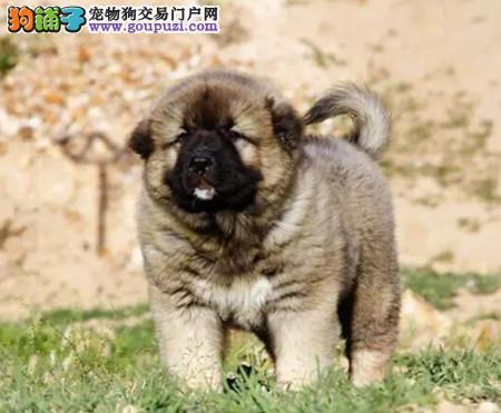 正规犬舍繁殖 赛级品质 纯种高加索幼犬出售