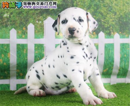 专业犬舍繁殖精品斑点幼犬CKU认证绝对信誉