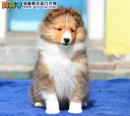专业犬舍繁殖精品喜乐蒂幼犬CKU认证绝对信誉