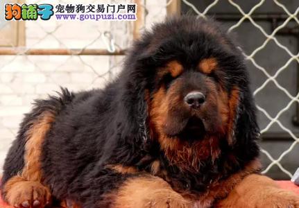 专业犬舍繁殖精品藏獒幼犬中国纯种犬工作协会认证