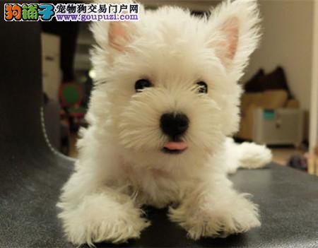 专业犬舍繁殖精品西高地白梗幼犬CKU认证绝对信誉