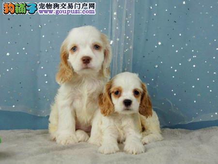 专业犬舍繁殖精品可卡幼犬CKU认证绝对信誉