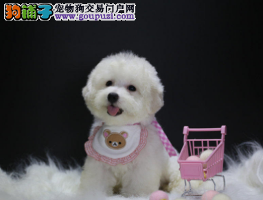 专业犬舍繁殖精品比熊幼犬CKU认证绝对信誉