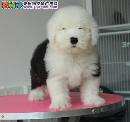 专业犬舍繁殖精品古代牧羊犬幼犬CKU认证绝对信誉