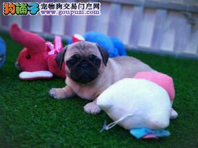 专业犬舍繁殖精品巴哥幼犬CKU认证绝对信誉