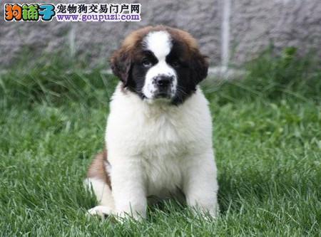 专业犬舍繁殖精品圣伯纳幼犬CKU认证绝对信誉