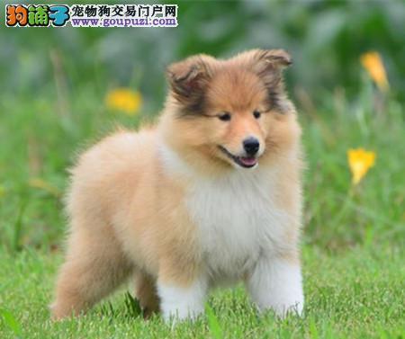 专业犬舍繁殖精品苏格兰牧羊犬幼犬CKU认证绝对信誉