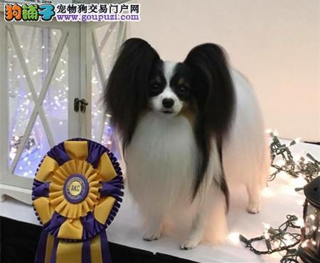专业犬舍繁殖精品蝴蝶犬幼犬CKU认证绝对信誉