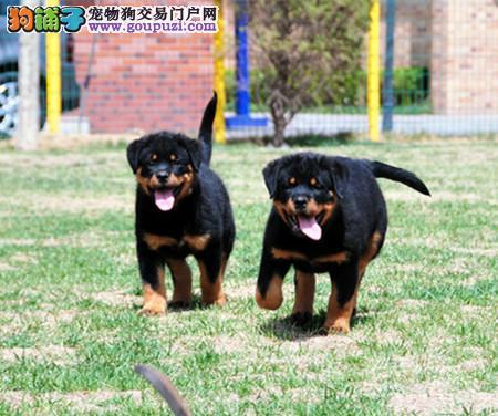 专业犬舍繁殖精品罗威纳幼犬CKU认证绝对信誉