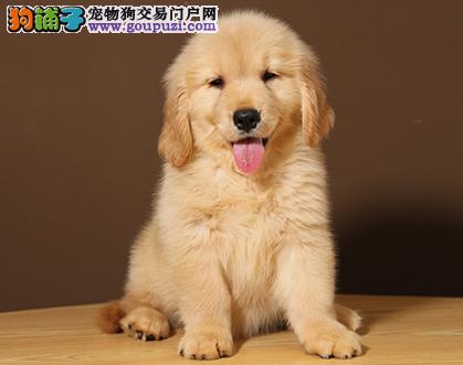 专业犬舍繁殖精品金毛幼犬CKU认证绝对信誉