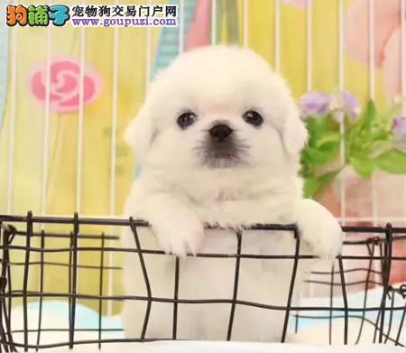 专业犬舍繁殖精品京巴幼犬CKU认证绝对信誉