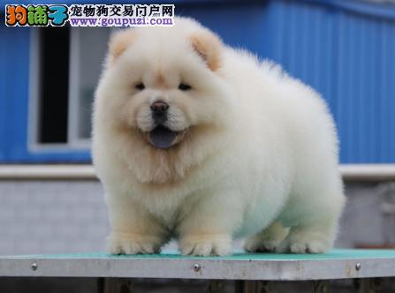 专业犬舍繁殖精品松狮幼犬CKU认证绝对信誉
