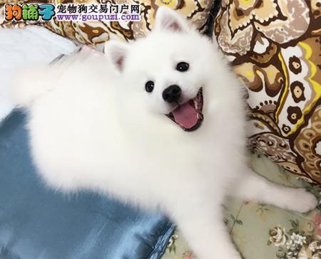 专业犬舍繁殖精品银狐幼犬CKU认证绝对信誉