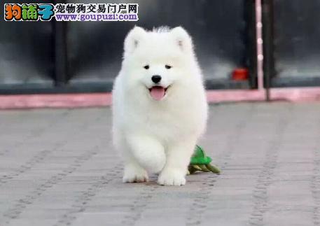 专业犬舍繁殖精品萨摩耶幼犬CKU认证绝对信誉