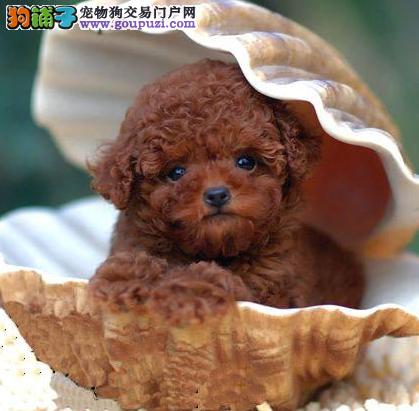 CKU认证犬业专业繁殖小泰迪宝宝 质量保障。