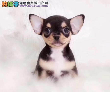 专注于培育中高端宠物基地 纯种吉娃娃幼犬待售