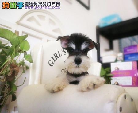 专注于培育中高端宠物基地 纯种雪纳瑞幼犬待售
