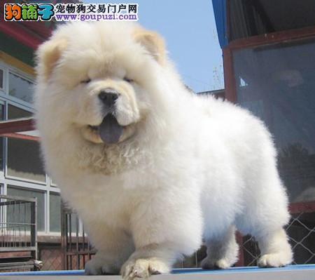 专注于培育中高端宠物基地 纯种松狮犬幼犬待售