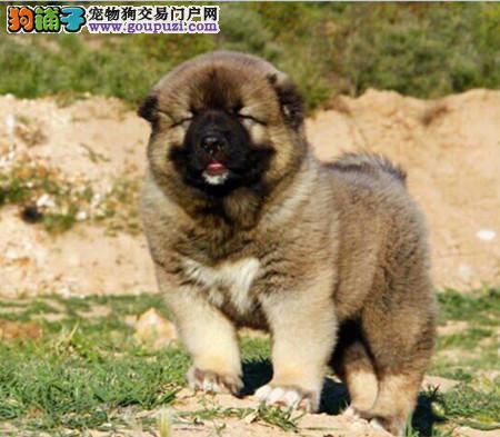 专注于培育中高端宠物基地 纯种高加索幼犬待售