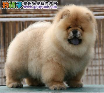 CKU认证犬业专业繁殖松狮宝宝 绝对信誉