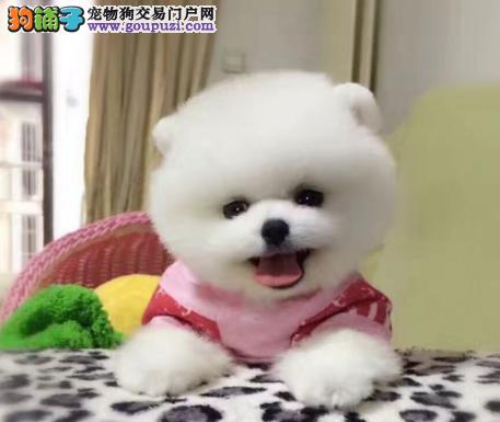 CKU认证犬业专业繁殖博美宝宝 绝对信誉