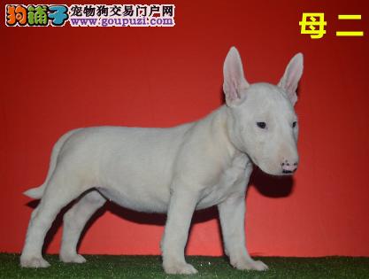 CKU认证犬业专业繁殖牛头梗宝宝 绝对信誉