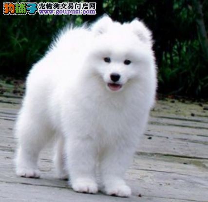 CKU认证犬业专业繁殖萨摩宝宝 绝对信誉
