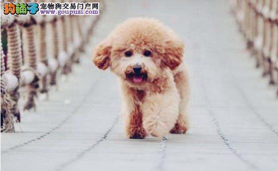 教你慧眼判定泰迪犬,选出你心目中的优质狗6