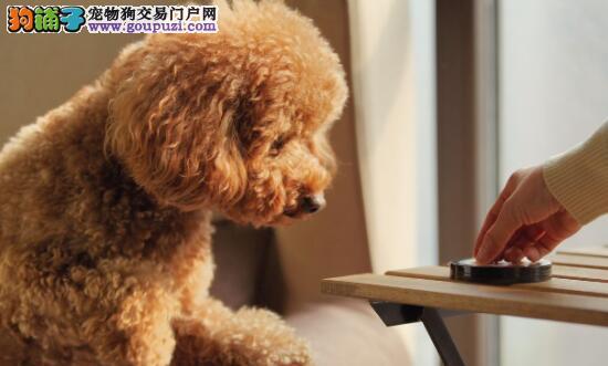 想要买一条合格的泰迪犬,必须注意以下几点5