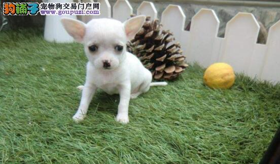 从四个方面来挑选健康可爱的吉娃娃犬6