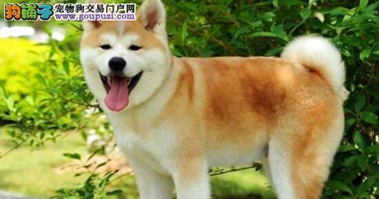 秋田犬的选购方法,你了解多少6