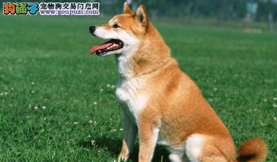 秋田犬的选购方法,你了解多少5