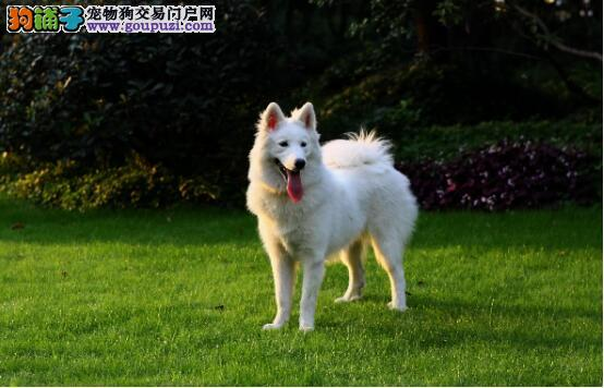 购买一只纯正的萨摩耶犬需要注意什么5