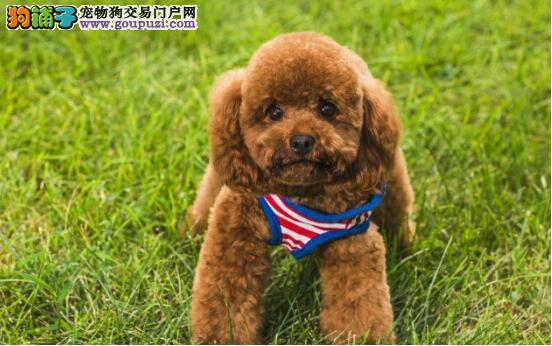 教你慧眼判定泰迪犬,选出你心目中的优质狗5