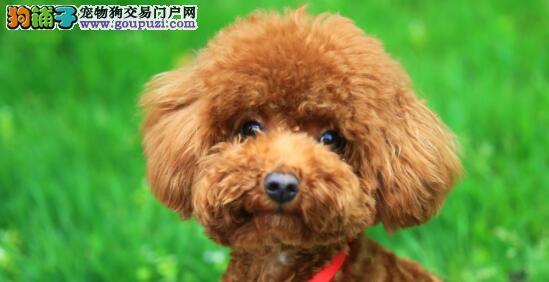 想要买一条合格的泰迪犬,必须注意以下几点6