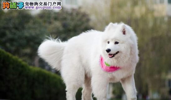 购买一只纯正的萨摩耶犬需要注意什么6