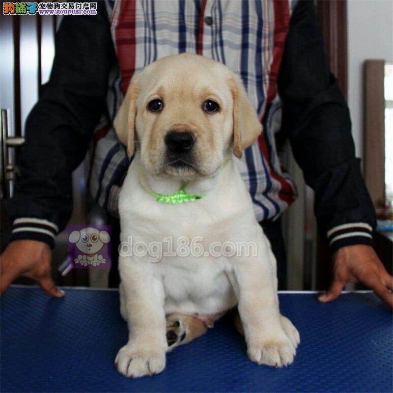 中国高端拉布拉多繁育专家北京拉拉犬舍出售拉布拉多犬